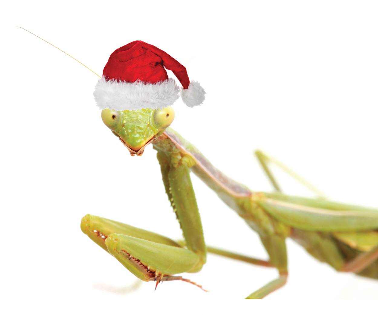 praying mantis with Santa hat